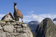 Lama in Machu Picchu Fotografia Stock