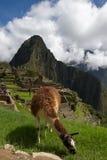 Lama Machu Picchu Stockbild