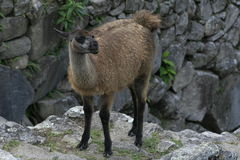 Lama Machu Picchu Stockbilder