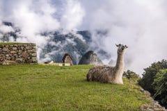 Lama a Machu Picchu Inca Ruins - valle sacra, Perù Immagine Stock Libera da Diritti