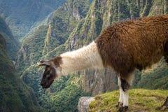 Lama a Machu Picchu Inca Ruins - valle sacra, Perù Fotografia Stock Libera da Diritti