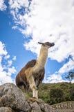 Lama a Machu Picchu Inca Ruins - valle sacra, Perù Fotografie Stock