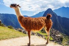 Lama in Machu Picchu, Incas-ruïnes in de Peruviaanse Andes in Cuzco Peru Stock Fotografie