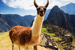 Lama at Machu Picchu, Incas ruins in the peruvian Royalty Free Stock Photos