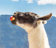 Lama at Machu Picchu, Incas ruins in the peruvian. Machu Picchu, Peru, One of the New Seven Wonders of the World Royalty Free Stock Images