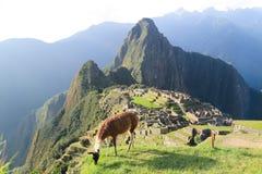 Lama a Machu Picchu, Perù Fotografia Stock Libera da Diritti