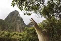 Lama in Machu Picchu in Peru Stock Fotografie