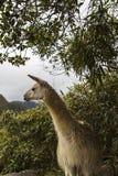Lama in Machu Picchu in Peru Royalty-vrije Stock Fotografie