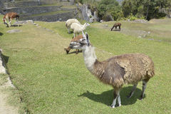 Lama, Machu Picchu, Peru Stock Image