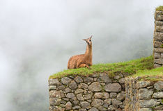 Lama in Machu Picchu , Peru. Stock Photo