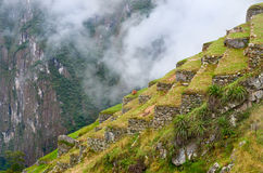 Lama in Machu Picchu , Peru. Stock Photos