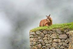 Lama in Machu Picchu , Peru. Royalty Free Stock Image