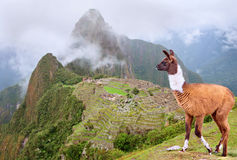 Lama in Machu Picchu , Peru. Royalty Free Stock Image