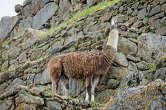 Lama in Machu Picchu in Peru Royalty Free Stock Photo