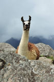 Lama Machu Picchu In Peru Royalty Free Stock Image