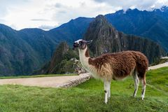 Lama at Machu Picchu ruins. Peru stock image