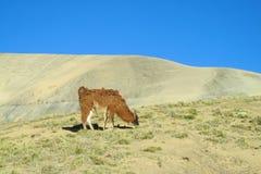 Lama marrone lanuginosa sul altiplano Immagine Stock