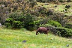 Lama marrone solo che mangia lungo Inca Trail a Machu Picchu peru Nessuna gente Fotografia Stock