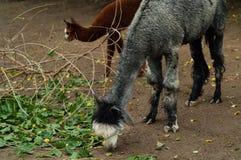 Lama met een welp in een natuurreservaat Royalty-vrije Stock Afbeeldingen