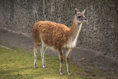 Lama mignon au zoo à Berlin Photos libres de droits