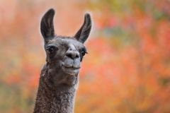 Lama mit Autumn Leaves Lizenzfreie Stockbilder