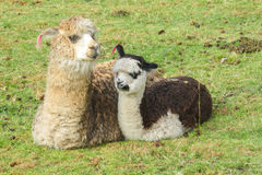 Lama mit einem Baby Stockbild