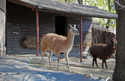 Lama in Moscow Zoo. The lama sits in a varyer in Moscow Zoo. Russia Stock Images