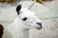 Lama in Moscow Zoo Royalty Free Stock Photography
