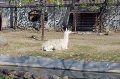 Lama in Moskau-Zoo Russland Lizenzfreie Stockbilder