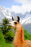 Lama in the mountains. Beautiful Lama in the french Alps Stock Photography