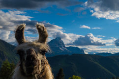 Lama na frente de uma montanha, dolomites, southtyrol, Italia Foto de Stock Royalty Free