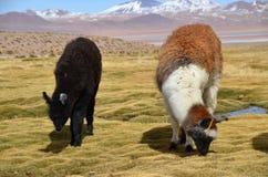 Lama na Laguna Colorada, Boliwia Obraz Royalty Free