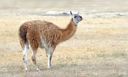 Lama on nature Royalty Free Stock Photos
