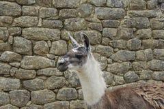 Lama naturel sur les ruines de Machu Picchu image stock