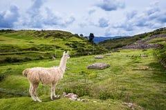 Lama near Cusco, Peru. Lama in the mountains around Cusco, Peru Stock Image