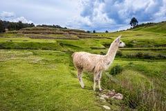 Lama near Cusco, Peru. Lama in the mountains around Cusco, Peru Royalty Free Stock Images