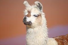 Lama near laguna Colorado Stock Photography