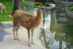 Lama near the water. In the zoo Stock Photography