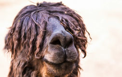 Lama. A lama in need of a haircut Stock Images