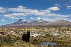 Lama nel parco nazionale di Sajama Fotografia Stock Libera da Diritti