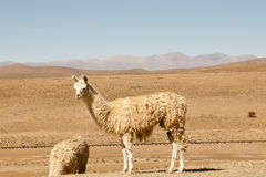 Lama nel selvaggio - l'Argentina Fotografia Stock
