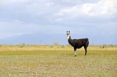 Lama nell'ambiente della montagna Fotografia Stock Libera da Diritti