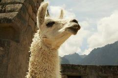 Lama nella città Machu-Picchu Immagine Stock Libera da Diritti