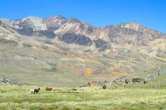 Lama nella valle della montagna Immagini Stock Libere da Diritti