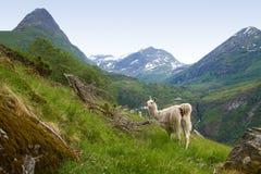 Lama nelle montagne Immagini Stock