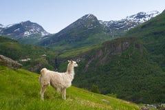 Lama nelle montagne Fotografia Stock