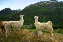 Lama nelle montagne Immagini Stock Libere da Diritti
