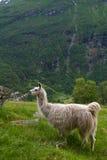 Lama nelle montagne Fotografia Stock Libera da Diritti