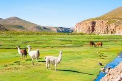 Lama nelle montagne delle Ande, Altiplano, Bolivia Fotografia Stock