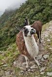 Lama nelle montagne Su Inca Trail a Machu Picchu Timori Fotografia Stock Libera da Diritti